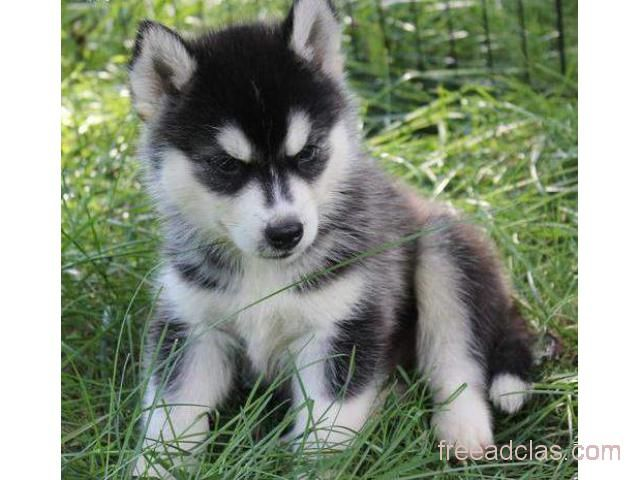 SIBERIAN HUSKY PUPPIES READY NOW FOR SALE
