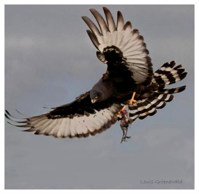 Black Harrier (Circus maurus) Female black harrier bringing food to nest Locality Rawsonville, Western Cape Province, South Africa Louis ...