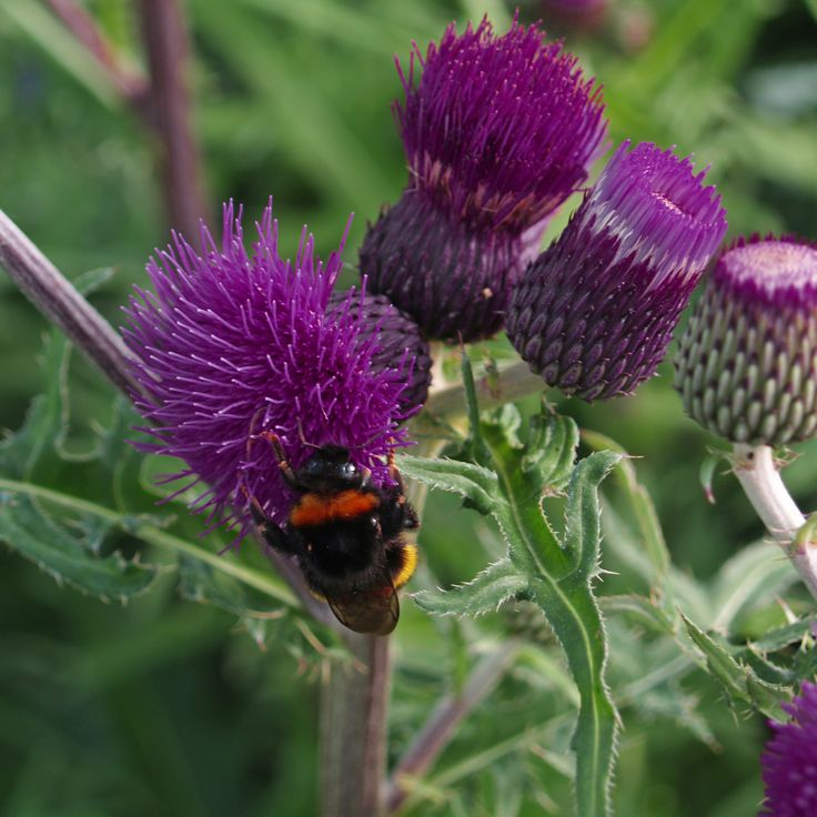Buy brook thistle Cirsium rivulare 'Trevors Felley Find (PBR)': Delivery by Crocus