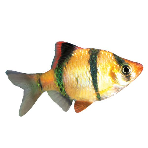 792 best images about balikl turleri on pinterest for Freshwater tropical fish online