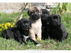 Animale de companie, Vanzari, cumparari, Vand cane corso , imaginea 1 din 1
