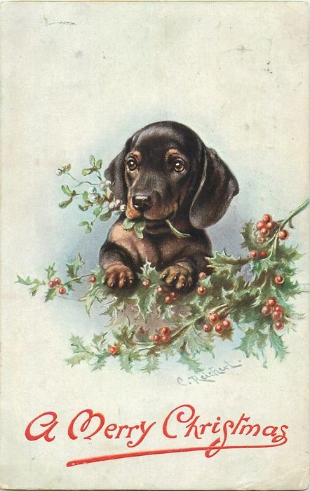 dachshund chewing Christmas tree looking front