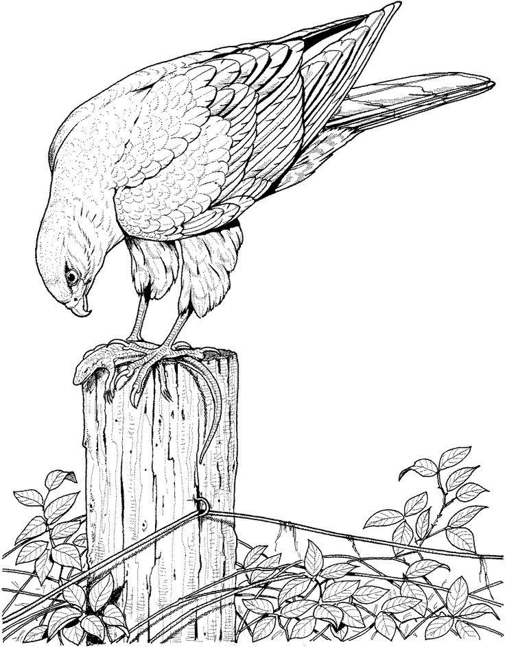 realistic printable drawing pages of hawk in hard bird coloring pages for adults - Printable Coloring Pages Birds