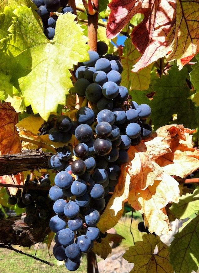 Cabernet Sauvignon uit Sonoma, USA - Vinthousiast, Rupelmonde (Kruibeke) - www.vinthousiast.be
