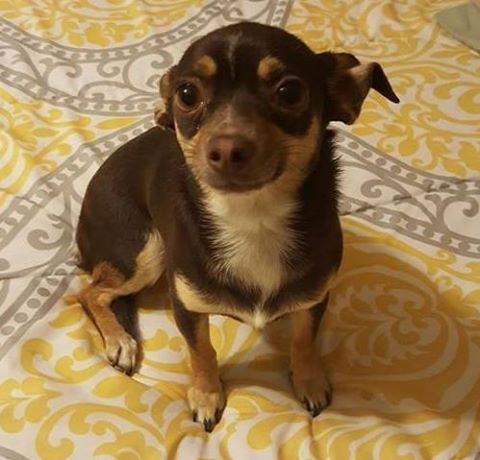 Lucy's Story – A Four Pound Chihuahua Endures Two Weeks of Nasty Weather | Lost Dogs Illinois