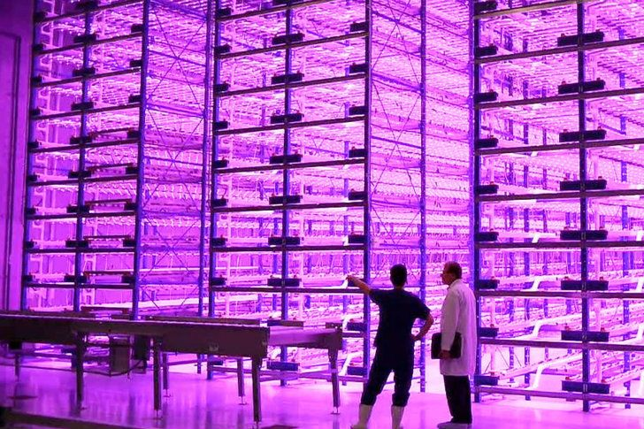New 'pinkhouses' are the wave of the future for indoor vertical farming using an energy efficient mix of red and blue LED lights that can cut down on power bills and environmental impact.