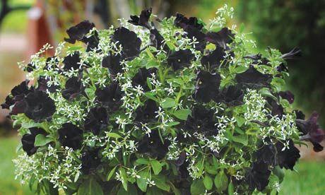 Svart Petunia 'Black Velvet' blandat med snötörel Euphorbia 'Breathless white'.  Ljuvt möter tufft.
