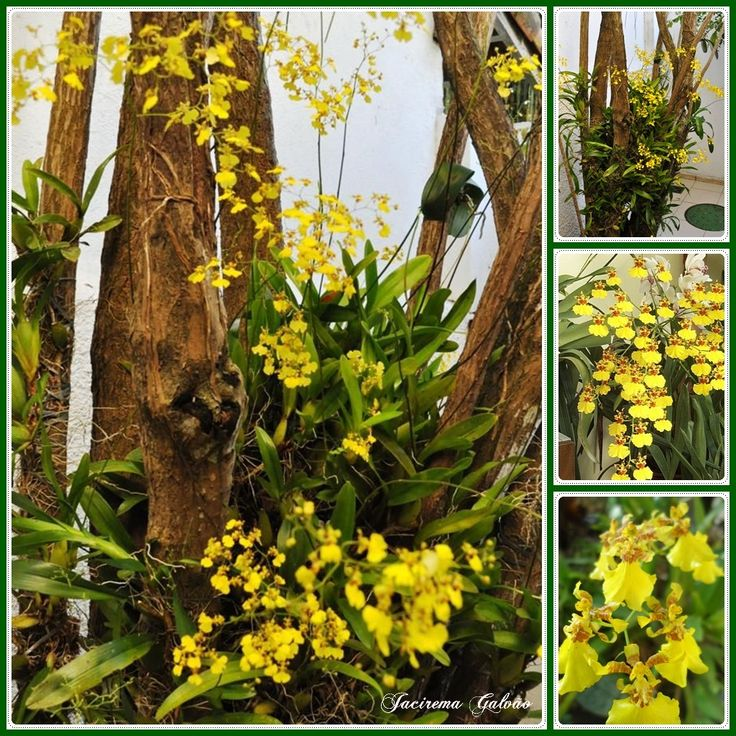 Orquídeas Pingo de ouro Plants, Garden