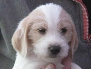 1000 images about puppies on pinterest bloodhound - Petit basset griffon vendeen breeders toulon ...