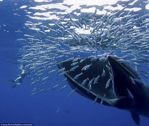 Feeding frenzy: A bryde's whale opens its mouth to swallow dozens of sardines...  By: Doug Perrine