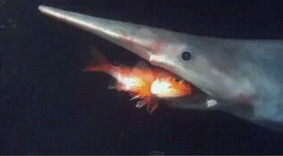ataque del tiburón duende