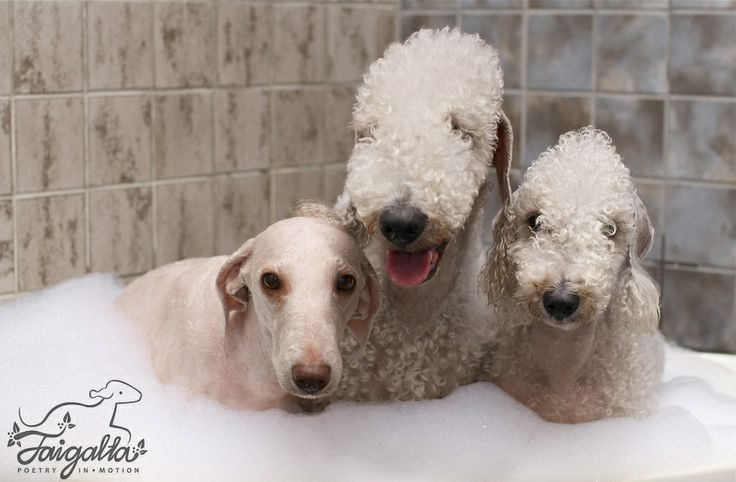 Bedlingtonterriers having a bath