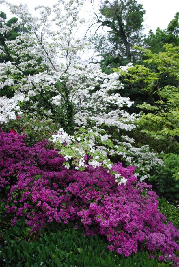 spring blooming azalea and kousa sourwood