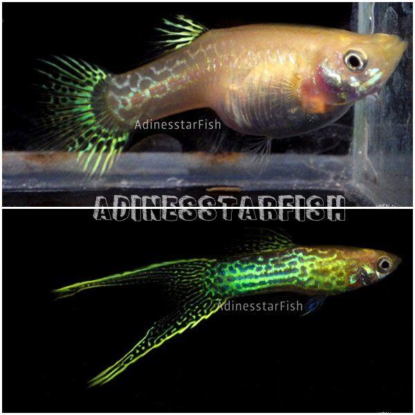 Fwguppies1549727640 Rare Guppies Blonde Snake Skin Double Sword Guppy Fresh Water Fish Tank Aquarium Fish