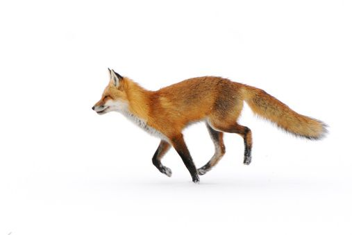 how to draw a running fox
