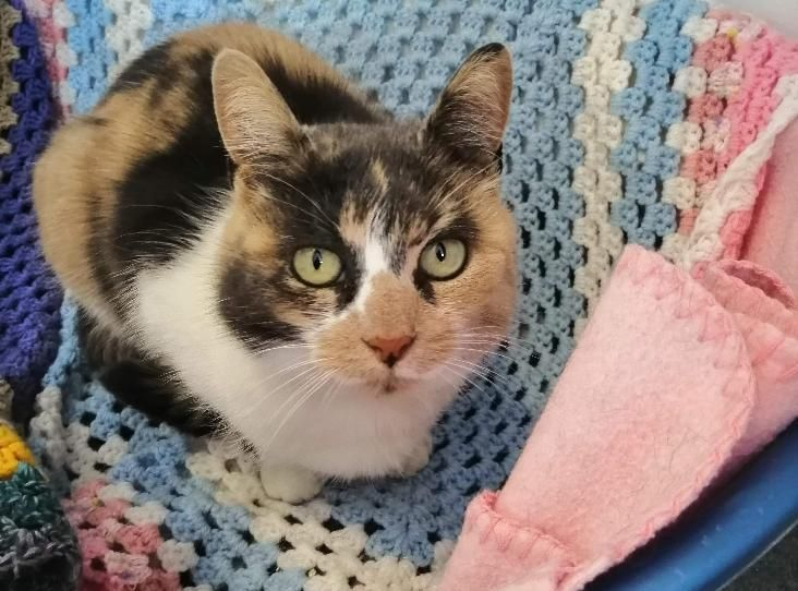 Pebbles Find A Pet Rspca Org Uk Calico Cat Cats Pets