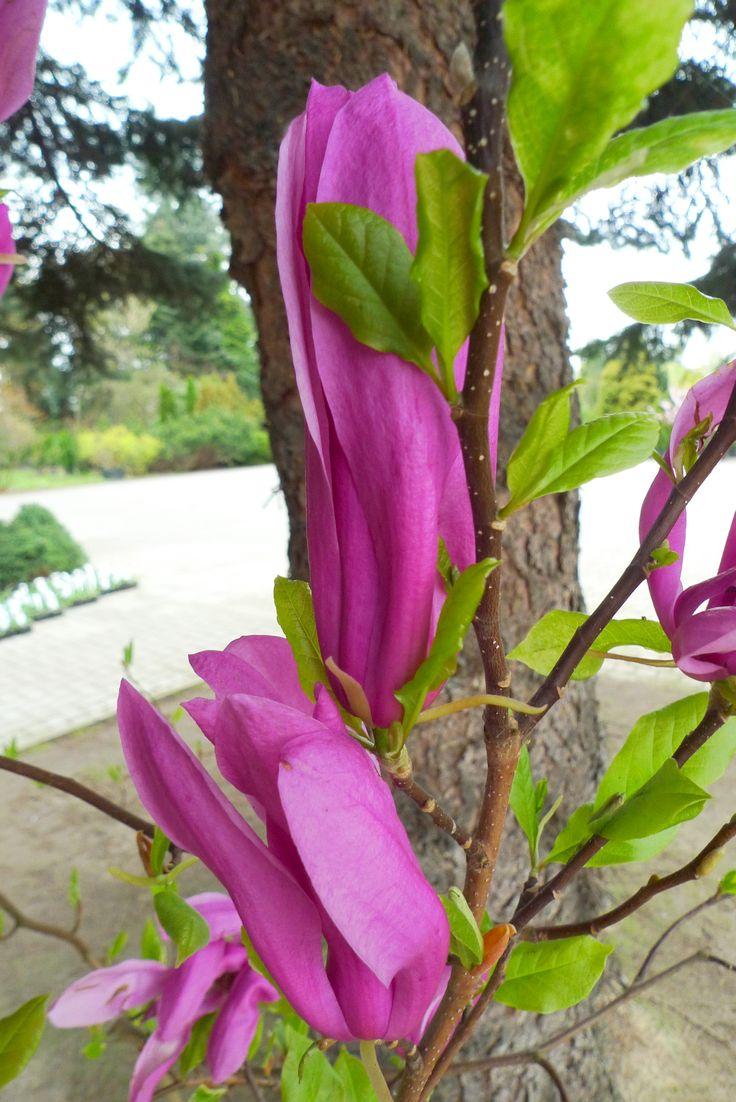 Magnolia sp. Gargul Gaj Gartex