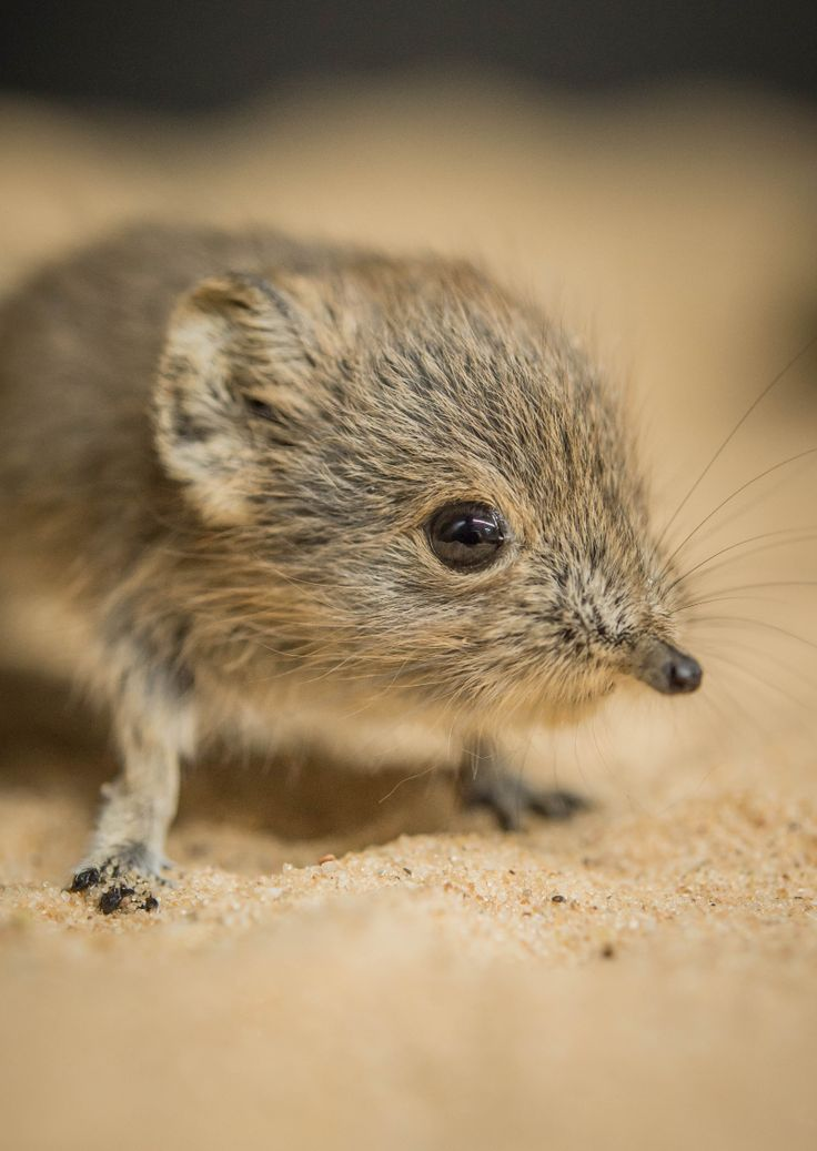 Meet Ping and Pong, tiny African Sengi twins at Chester Zoo and see video on ZooBorns.com and at http://www.zooborns.com/zooborns/2017/05/meet-chester-zoos-newborn-sengi-twins-ping-and-pong.html