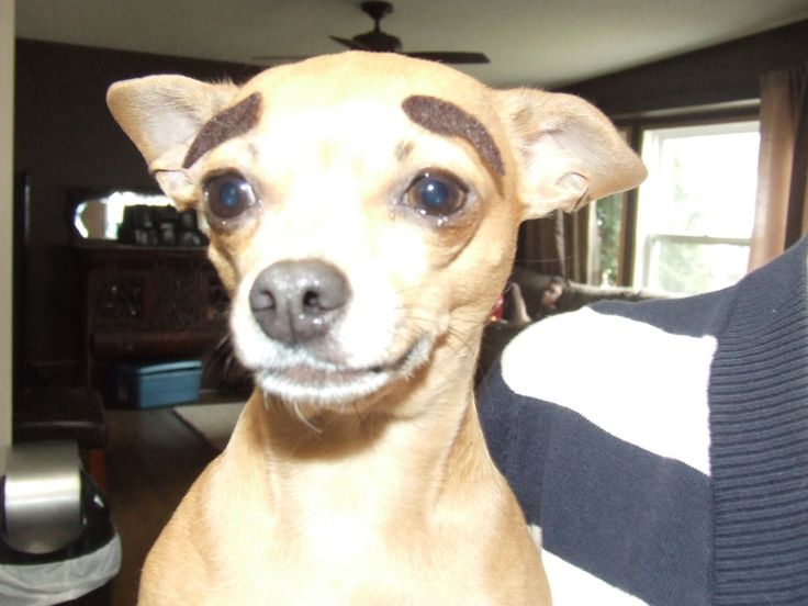 Dog with eyebrows .  My Lucy!
