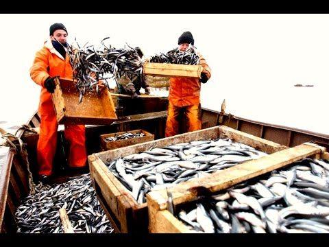 Большой улов./ Ловля кефали сетями.Морская рыбалка.