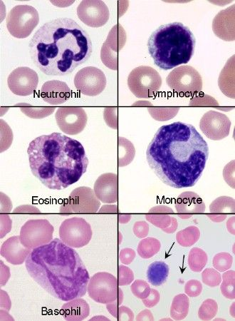 canine blood cells