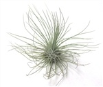 Canandian Air Plant Co.- Argentea air plant, Argentea, Air Plants Canada, Air Plant Wholesale, www.canadianairplant.com, Saint John NB Canada, 42 Water Street, Plants for Sale, Air cleaning plant, Air Plant for sale, online store, shop online, air plant
