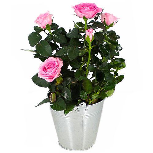 Ce petit rosier adapté à la culture en pot n'est toutefois pas une plante d'intérieur. Parfait pour garnir un balcon ou le rebord d'une terrasse il se plaira à l'abri du vent. Choisissez un contenant profond afin de permettre aux racines de se développer en profondeur. Votre rosier profitera d'un mélange de 2/3 terreau de jardinière et 1/3 terreau pour rosiers riche en magnésie. Il conviendra de supprimer les fleurs fanées et de le taillez-le court en fin d'hiver.