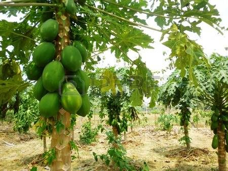 Young Papaya tree in the orchard of Indonesia