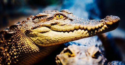 Caimán de anteojos (Caiman crocodilus chiapasus) is one of three caiman crocodile species living in Mexico.