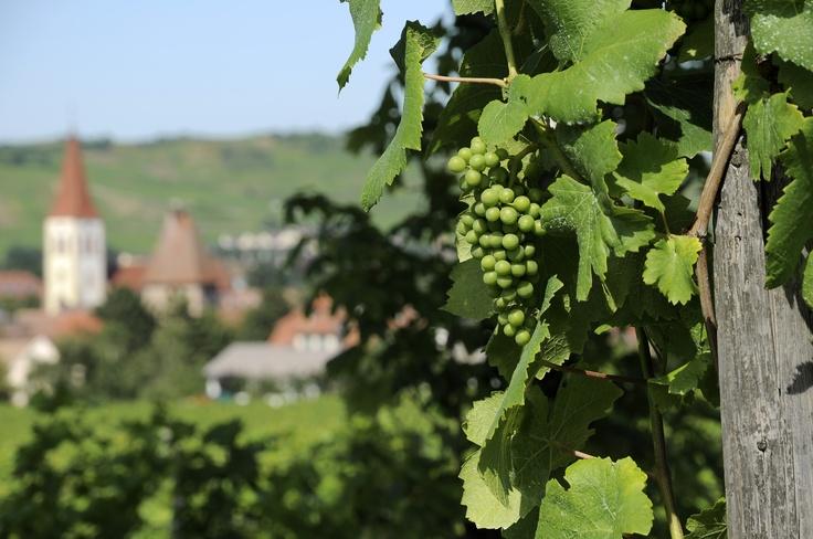 Pied de #vigne avec vue sur l'église Saint-Martin à #Ammerschwihr