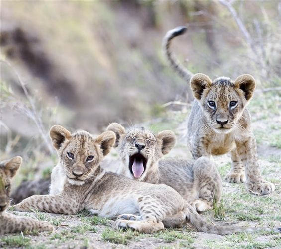 Lion Cubs in the South Luangwa National Park, Zambia. Excellent for Walking Safaris