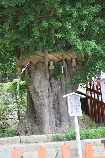 We walked past the ginkgo that had stood next to Tsurugaoka Hachiman-gū's stairway almost from its foundation. Sadly, this tree was uprooted and greatly damaged at 4:40 in the morning on March 10, 2010. The tree was nicknamed kakure-ichō (隠れ銀杏 hiding ginkgo) based on these events of February 12, 1219. http://en.wikipedia.org/wiki/Kugy%C5%8D_%28Minamoto_no_Yoshinari%29Marching 10, Tsurugaoka Hachiman Gū, February 12, Test, Trees Hugger, Hachiman Gū Stairways, Nicknames Kakure Ichō, Kakure Ichō 隠れ銀杏, Hiding Ginkgo