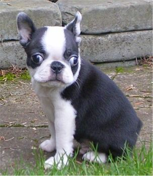 Boston+Terrier | Boston Terrier Photos Pictures Boston Terriers