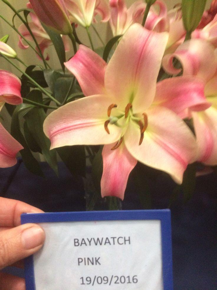 Baywatch pink orientals