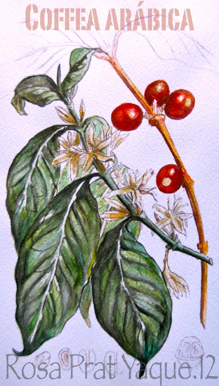 Watercolour. cofee.  Acuarela. Cafeto.  Based in an old botanic drawing.  with my personal  and actually touch.  Basado en un dibujo antiguo de botánica. con mi toque especial y actual.