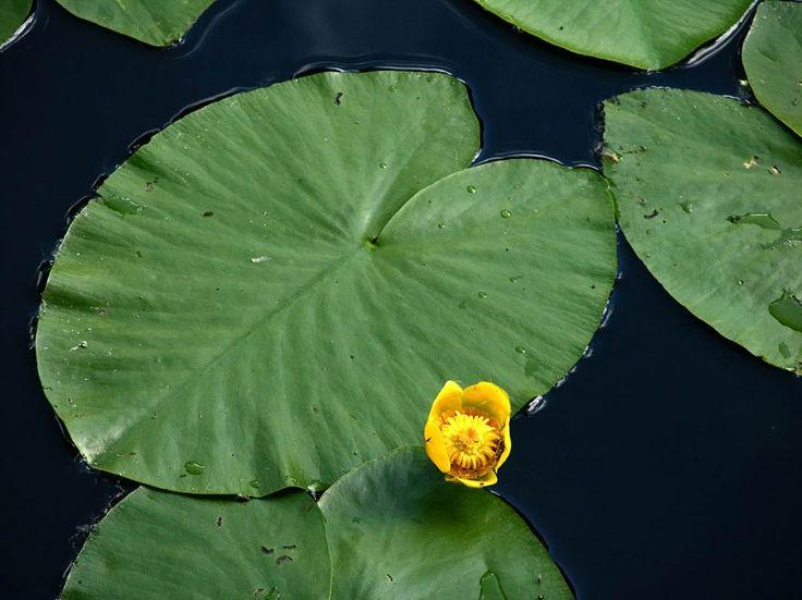 Gul näckros, Nuphar lutea - Blomväxter - NatureGate