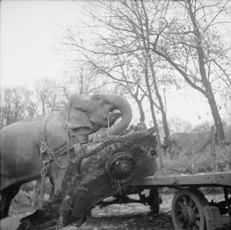 GERMANY UNDER ALLIED OCCUPATION. Circus elephant Kiri loading the wreckage of a car onto a trailer during the clearance of a bombed out garage in Hamburg.