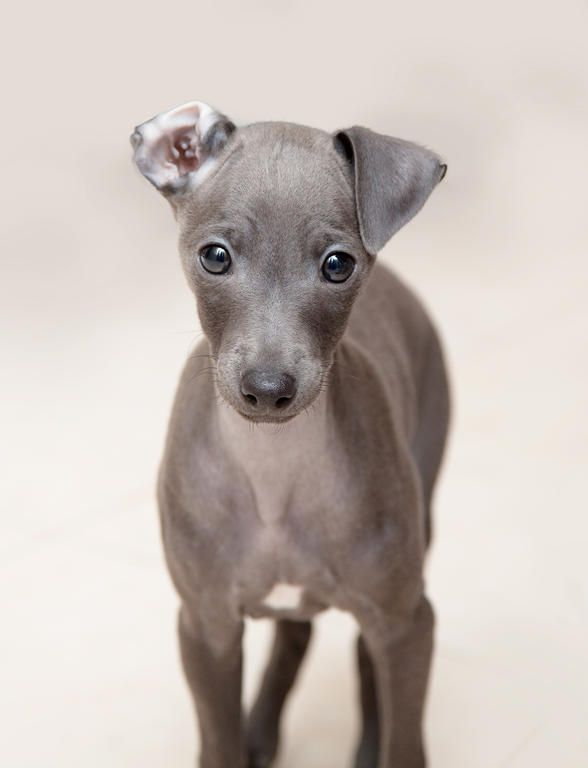 Dog-Italian_Greyhound-An_incredible_little_Italian_Greyhound_puppy_with_one_ear_folder_back.jpg (588×768)