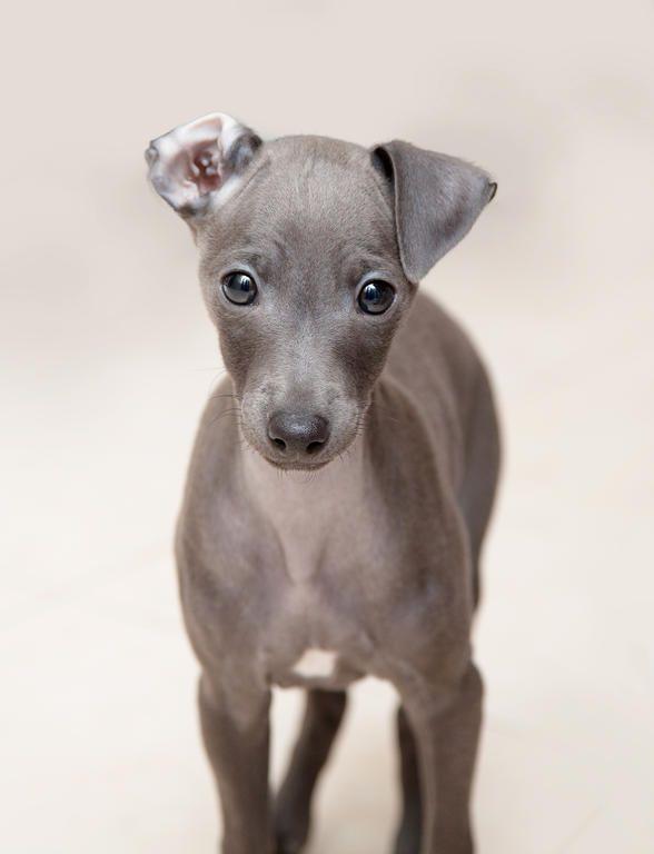 Dog-Italian_Greyhound-An_incredible_little_Italian_Greyhound_puppy_with_one_ear_folder_back.jpg (588×768)