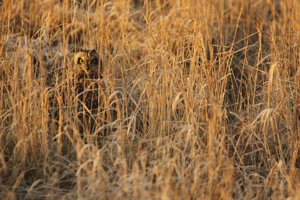 Hibou des marais au petit jour. Ce rapace semi-diurne reste au sol en dehors des périodes de chasse. Camouflé dans les herbes et sûr de son mimétisme, il reste immobile, ce qui garantit (presque) son invisibilité. Lever du soleil sur la vallée de la Haute-Somme...