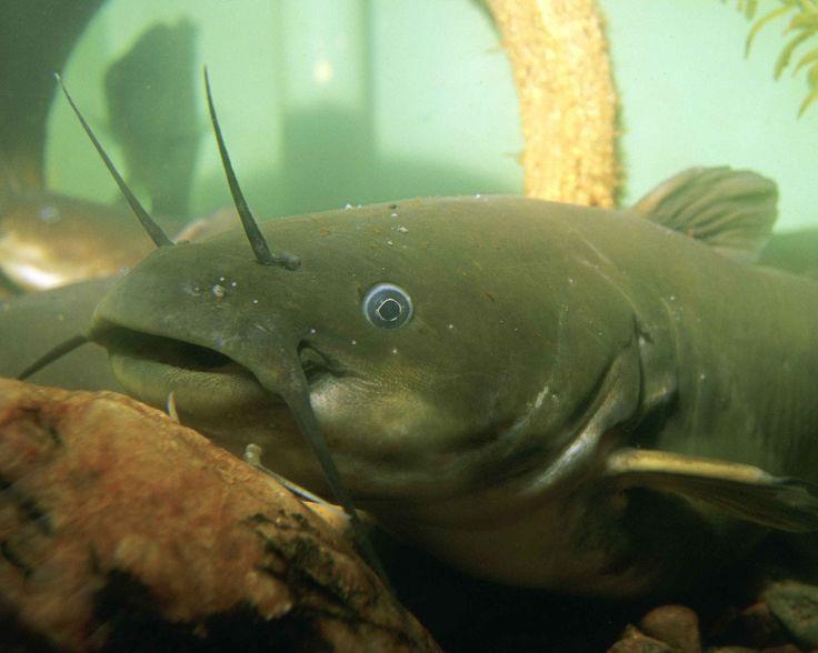 Los peces de agua dulce más grandes del mundo - https://www.depeces.com/los-peces-agua-dulce-mas-grandes-del-mundo.html