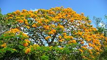 Delonix regia var. flavida is a rarer, yellow-flowered variety.