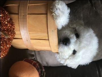 Maltipoo puppy for sale in PAULINE, SC. ADN-44969 on PuppyFinder.com Gender: Male. Age: 9 Weeks Old