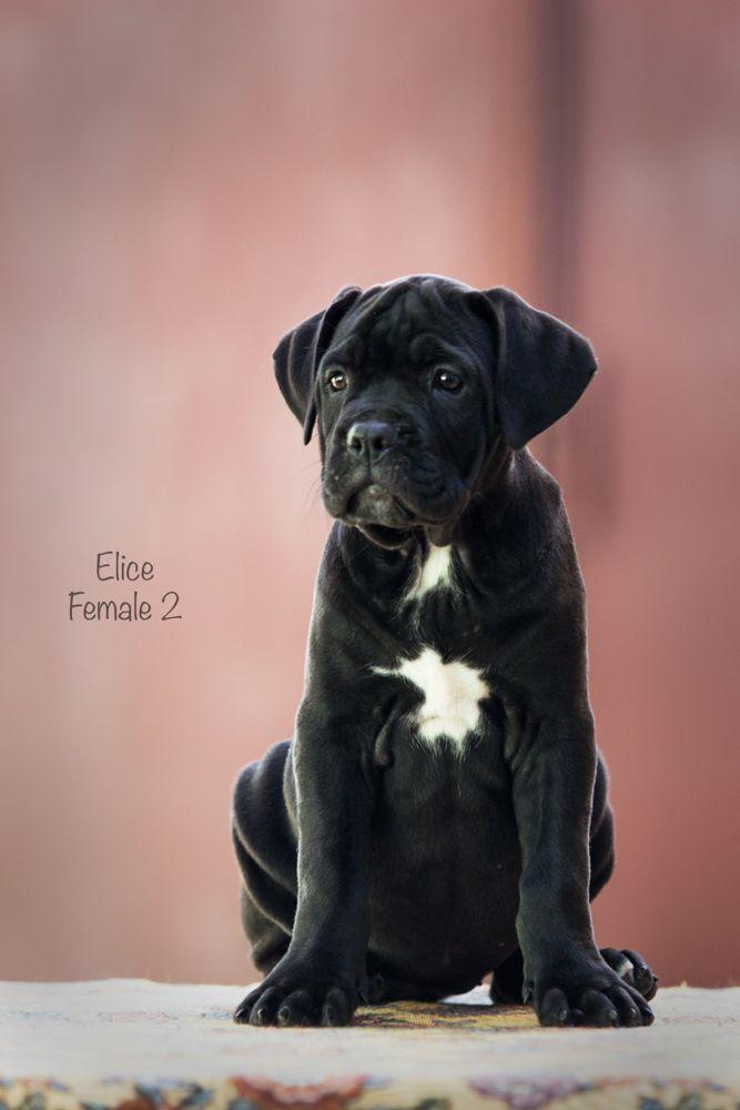 Cane Corso Puppy For Sale Cane Corso Cane Corso Puppies Cane Corso Dog