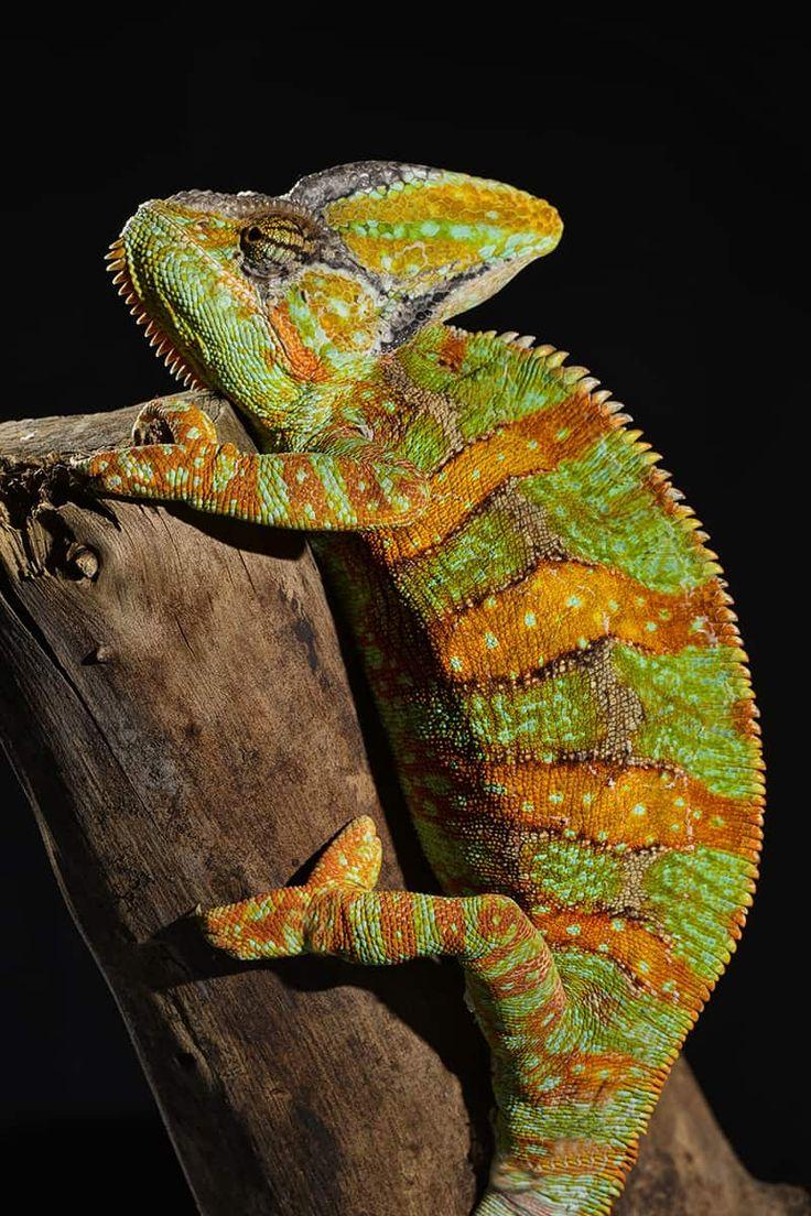 Veiled Chameleon for sale online Veiled Chameleons for sale Chameleon Breeders captive bred baby panther chameleons for sale online