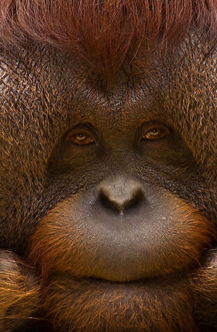 Bornean orangutan populations have declined by more than 50% over the past 60 years, and the species' habitat has been reduced by at least 55% over the past 20 years.