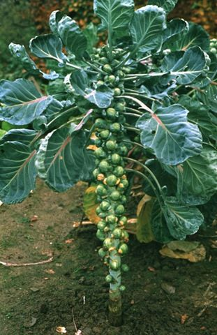 Brussels sprouts growing on the stalk