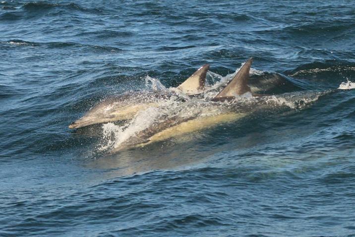 Grupo de golfinhos nas águas de Narooma, estado de Nova Gales do Sul, Austrália.