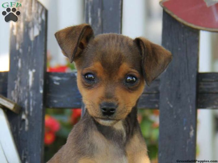 mini pinscher mix puppies - Google Search