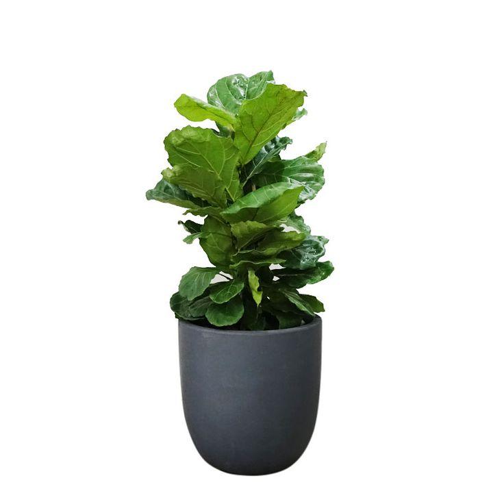 Ficus lyrata fiddle leaf fig in extra large egg planter